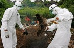 Bird flu outbreaks in Nepal hundreds of chickens culled