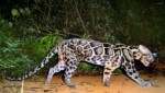 Sunda clouded leopard filmed up close after a long time