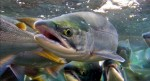Salmon use magnetic fields to return home