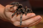 Tarantulas part in reducing pain