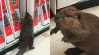 Oh! Look, the beaver is browsing in markets for Christmas tree
