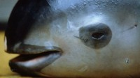 Mexico is taking every step to unshackle fishing nets; Saving world's smallest vaquita porpoise